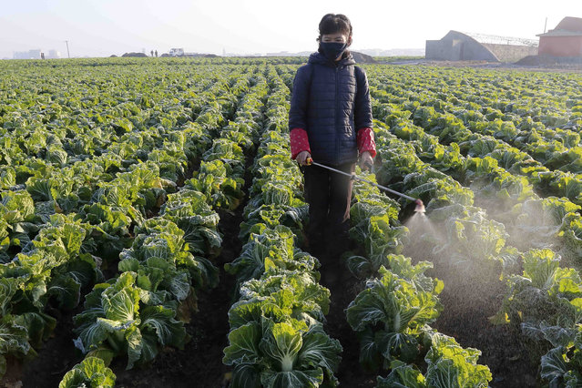In this November 11, 2020, file photo, a farmer works on cabbage at the Songsin Vegetable Cooperative Farm in Sadong district of Pyongyang, North Korea. (Photo by Jon Chol Jin/AP Photo/File)