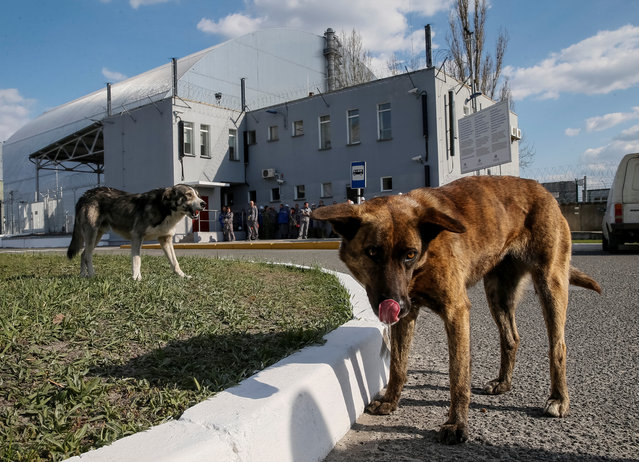Dogs are seen in front of a new Safe Confinement (NSC) structure over the old sarcophagus covering the damaged fourth reactor at the Chernobyl nuclear power plant in Chernobyl, Ukraine April 20, 2018. (Photo by Gleb Garanich/Reuters)