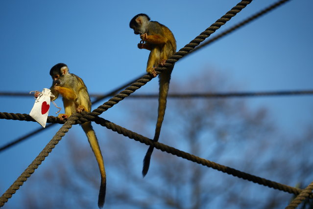Black capped squirrel monkeys are fed treats from Valentines Day themed bags during a photo-call at ZSL London Zoo in London, Britain, February 10, 2021. (Photo by Hannah McKay/Reuters)