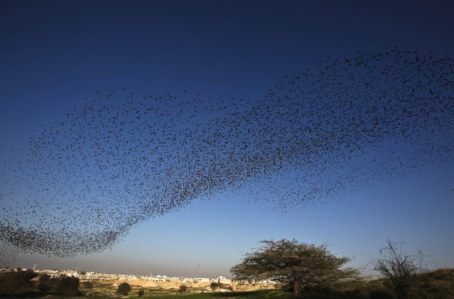 Migrating starlings fly in formation across the sky near the southern Israeli town of Rahat February 2, 2015. (Photo by Nir Elias/Reuters)
