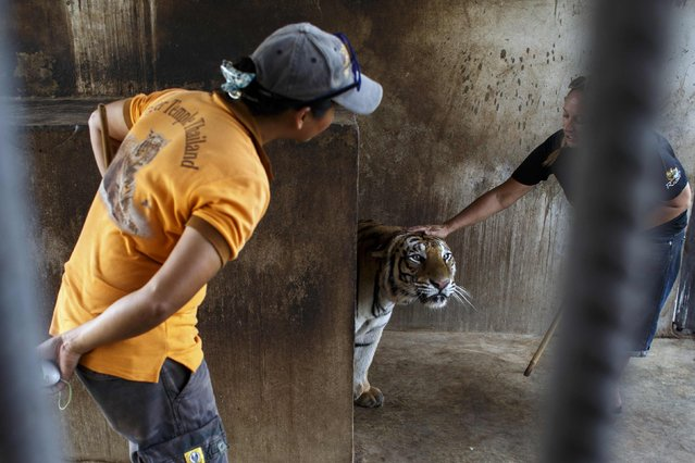 Volunteers comfort a tiger inside a cage at the Wat Pa Luang Ta Bua, otherwise known as the Tiger Temple, in Kanchanaburi province February 12, 2015. (Photo by Athit Perawongmetha/Reuters)