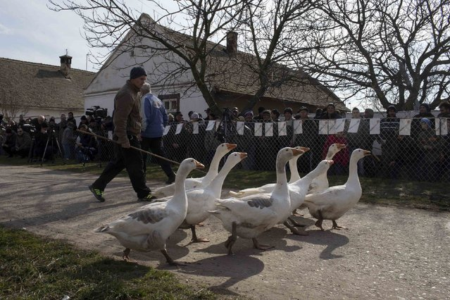A man walks with his geese during the annual Geese Fight Day in the northern Serbian village of Mokrin, some 160km (100 miles) from Belgrade February 22, 2015. (Photo by Marko Djurica/Reuters)