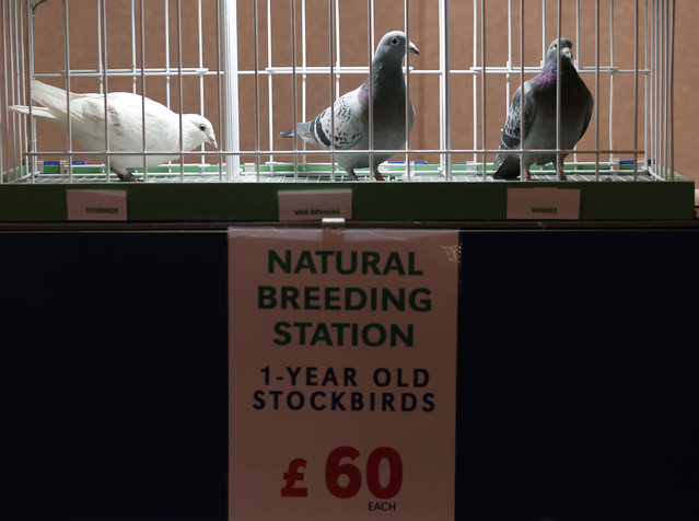 Pigeons are displayed for sale during the British Homing World show of the year at Blackpool's Winter Gardens in Blackpool, north west England on January 17, 2016. (Photo by Andrew Yates/Reuters)