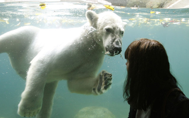 """A young visitor looks at two-year-old polar bear """"Luka"""" swimming in a pool at the Zoo in Wuppertal, western Germany, on Oktober 18, 2013. Luka came to Wuppertal from the Ouwehands Dierenpark animal park in the Netherlands. (Photo by Roland Weihrauch/AFP Photo/DPA)"""