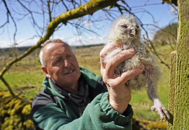 Martin Davison, ornithologist for Forestry England, rings a baby tawny owl chick in Kielder Forest, Northumberland on Wednesday, May 19, 2021, where wildlife experts are continuing to work on the UK's longest running study of the birds. (Photo by Owen Humphreys/PA Images via Getty Images)
