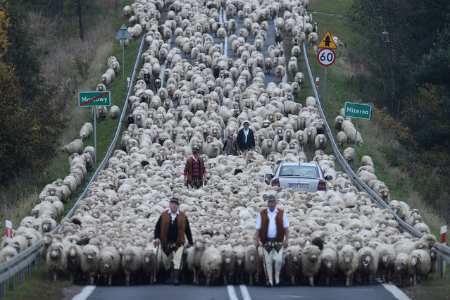 """""""Redyk"""", Poland, by Bartłomiej Jurecki. From the Low Beskid Mountains, shepherds bring herds of more than 1,500 sheep to the area around the town of Nowy Targ after the redyk (traditional grazing time), where the owners will take care of them during the winter. The animals will go back to the mountains in spring. Honourable mention, Journeys and Adventures category. (Photo by Bartłomiej Jurecki/SIPA Contest)"""