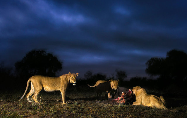 Lionesses  have a midnight feast. (Photo by Brendon Cremer/Caters News)