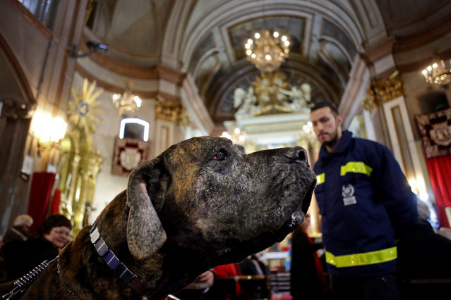 A dog sits during a mass inside San Anton Church in Madrid, Spain, January 17, 2017. (Photo by Juan Medina/Reuters)