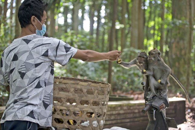 A worker feeds macaques during a feeding time at Sangeh Monkey Forest in Sangeh, Bali Island, Indonesia, Wednesday, September 1, 2021. Deprived of their preferred food source – the bananas, peanuts and other goodies brought in by the tourists now kept away by the coronavirus – hungry monkeys on the resort island of Bali have taken to raiding villagers' homes in the search for something tasty. (Photo by Firdia Lisnawati/AP Photo)