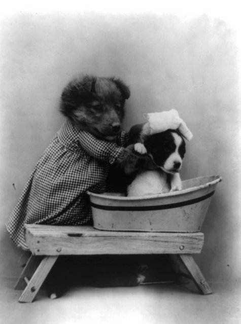 Dog dressed as human appearing to give another dog a bath in tub, 1914. (Photo by Harry Whittier Frees/Library of Congress)