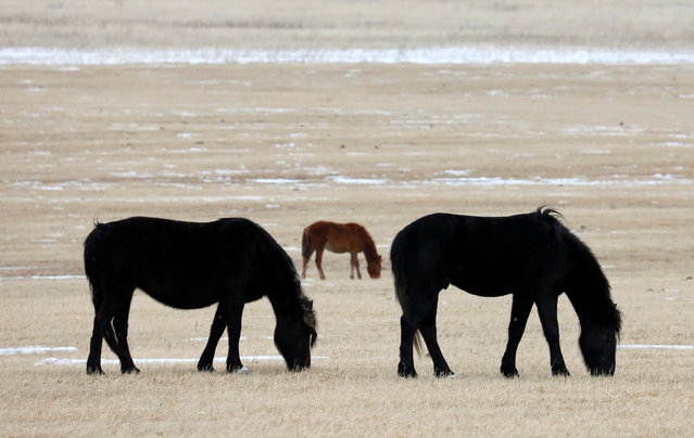 Horses graze in a field outside the Siberian village of Gladkovo southeast of Krasnoyarsk, Russia March 10, 2019. Picture taken Russia March 10, 2019. (Photo by Ilya Naymushin/Reuters)