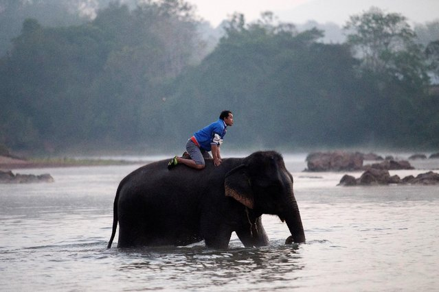 A mahout bathes an elephant before taking part in the Elephant Festival to raise awareness about these animals, in Sayaboury province, Laos February 18, 2017. (Photo by Phoonsab Thevongsa/Reuters)