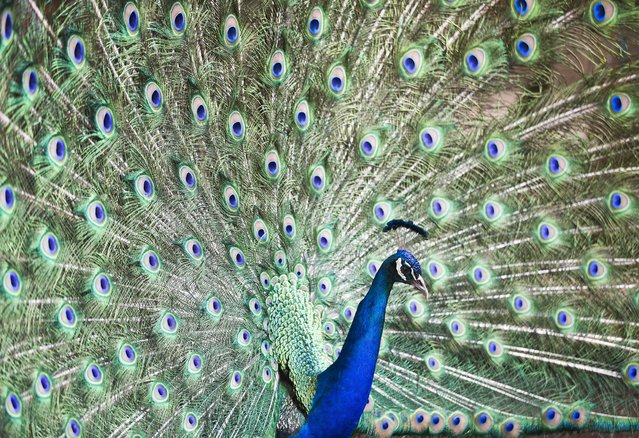 A peacock spreads his feathers at a zoo in Managua, Nicaragua, Sunday, May 24, 2015. (Photo by Esteban Felix/AP Photo)