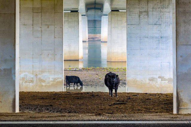 Landscapes of the Lage Landen category winner: Galloways Under the Bridge by Karin de Jonge (Netherlands). (Photo by Karin de Jonge/2019 Nature Photographer of the Year)
