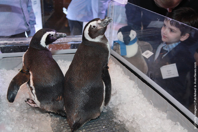 SeaWorld penguins Pete and Penny are displayed at the after party for the 'Frozen Planet' premiere at Alice Tully Hall, Lincoln Center