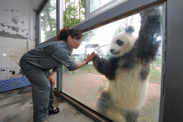 "Giant panda ""Huaao"" shakes hands with a breeder across the glass at Yantai Nanshan Park Zoo on June 9, 2014 in Yantai, Shandong Province of China. Giant pandas Huaao and Qingfeng have finished their 3-year sojourn in Yantai and will be sent back to Ya'an Bifeng Gorge Breeding Base of Sichuan on Tuesday. (Photo by ChinaFotoPress/ChinaFotoPress via Getty Images)"