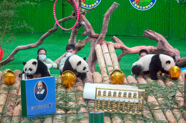 People watch the panda triplets eating bamboo during a celebration event for their first birthday at Chimelong Safari Park in Guangzhou city, south China's guangdong province. The triplets were born by giant panda Juxiao at the park on July 29, 2014, which was considered rare due to the low reproduction rate of giant pandas. (Photo by Imaginechina/Splash News)