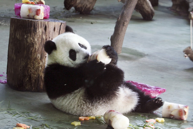 Taiwan's panda cub Yuan Zai enjoys her birthday cake, in celebration of her first birthday at the Taipei Zoo in Taipei, Taiwan, Sunday, July 6, 2014. The panda cub, whose parents Tuan Tuan and Yuan Yuan, were gifts from China to mark warming ties with Taiwan in 2008. (Photo by Chiang Ying-ying/AP Photo)