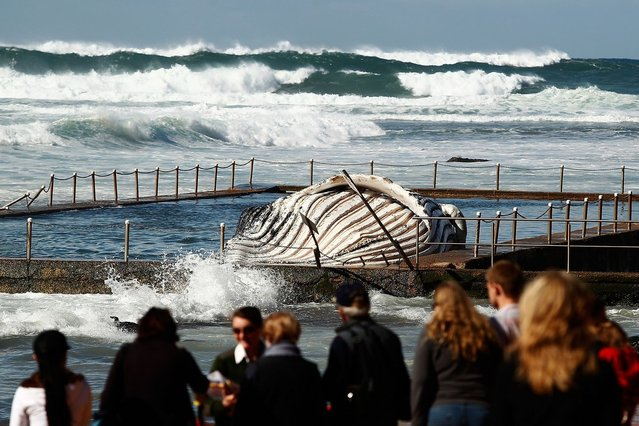 People gather on the beach to see the carcass of a male sub-adult humpback whale that washed up at New Port Beach overnight at Newport Beach overnight on August 1, 2012 in Sydney, Australia.  (Photo by Brendon Thorne)