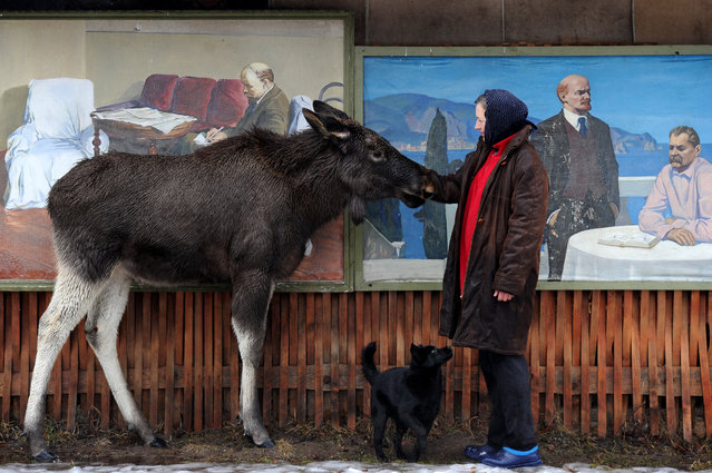 Svetlana Tseyko feeds a 10-month-old moose named Grisha in the courtyard in the village of Abramy, some 160 km northwest of Minsk, on February 21, 2017. (Photo by Sergei Gapon/AFP Photo)