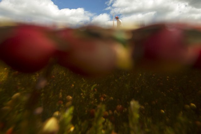 Cass Gilmore harvests cranberries in a bog at Gilmore Cranberry Company in Carver, Massachusetts September 14, 2015. (Photo by Brian Snyder/Reuters)