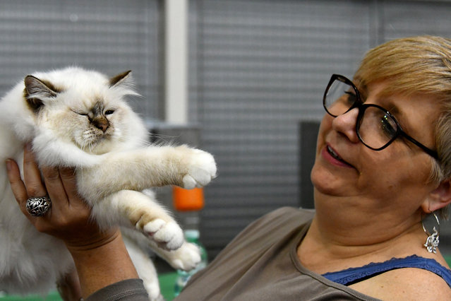 """A judge checks a cat during the """"SuperCat Show 2017"""" on November 11, 2017 in Rome, Italy. (Photo by Alberto Pizzoli/AFP Photo)"""