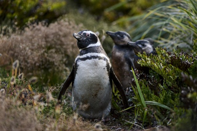 Magellanic penguins, an adult and two youth, curiously venture from their burrow on Sunday, February 7, 2016, in Gypsy Cove, Falkland Islands.  At an approximate 10 minute drive from Stanley, Gypsy Cove is the closest wildlife destination to reach from the capital. (Photo by Jahi Chikwendiu/The Washington Post)