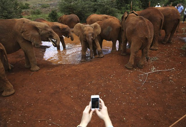 A visitor photographs orphaned baby elephants with a cell phone at the David Sheldrick Elephant Orphanage within the Nairobi National Park, near Kenya's capital Nairobi October 12, 2014. The orphanage under the David Sheldrick Wildlife Trust is operated by Daphne Sheldrick, wife of late famous naturalist David William Sheldrick. The orphaned elephants raised by the trust will be returned to join the undomesticated elephant population in Tsavo National Park, where David was the founder warden from 1948 to 1976, when they mature, usually between eight to 10 years old. (Photo by Goran Tomasevic/Reuters)