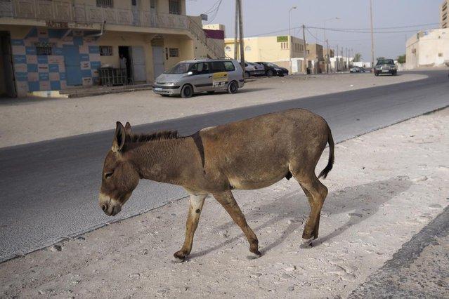 A donkey walks on a street in downtown Nouadhibou June 25, 2014. (Photo by Joe Penney/Reuters)