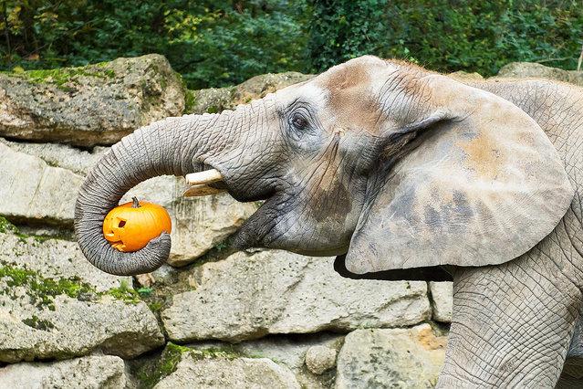 Elephants are lov for pumpkins. (Photo by Daniel Zupanc/EuroPics/Schönbrunn Zoo)