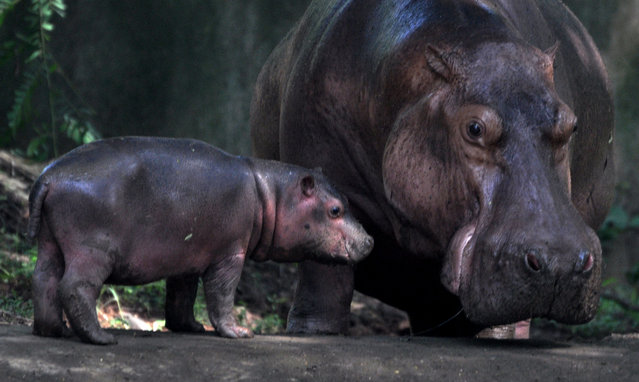 A Hippopotamus is pictured with her 19-day-old cub in Assam state Zoo cum Botanical Garden in Guwahati in India's northeastern state of Assam on September 30, 2020. (Photo by Xinhua News Agency/Rex Features/Shutterstock)