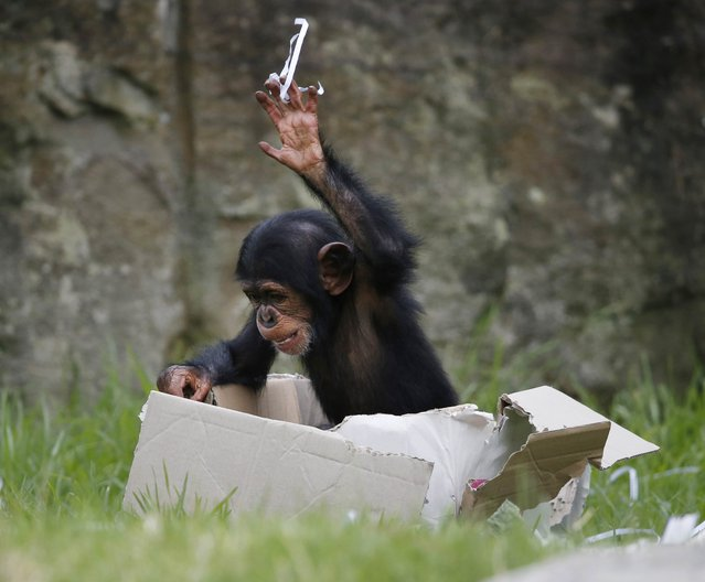 A 13-month-old chimp named Fumo throws shredded paper Christmas wrapping out of a box which contained food treats, during a Christmas-themed feeding session at Sydney's Taronga Park Zoo, December 9, 2014. (Photo by Jason Reed/Reuters)
