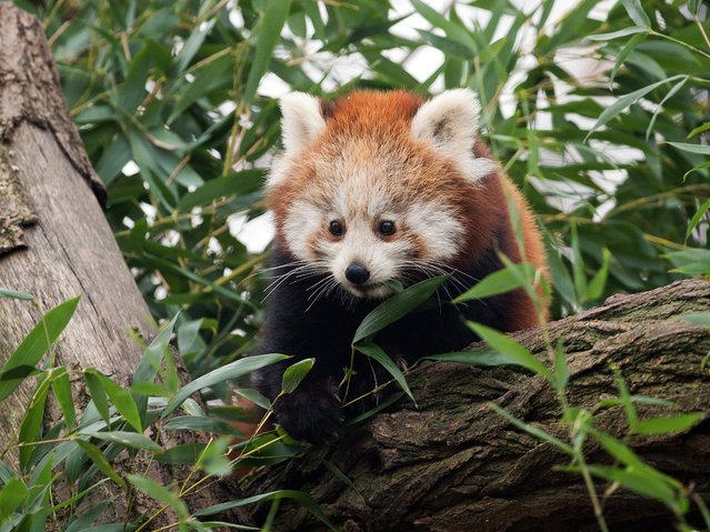 "Red Panda male cub ""Bambo"" eats bamboo in his enclosure at the zoo in Dresden, eastern Germany on December 5, 2014. The animal was born on July 12, 2014. (Photo by Arno Burgi/AFP Photo/DPA)"