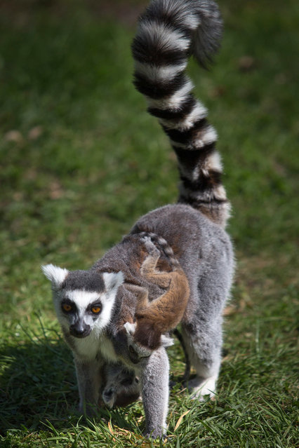 A young ring-tailed lemur with his mother in their enclosure in Wroclaw's Zoo in Wroclaw, Poland, 27 April 2013. Five lemurs were born two weeks ago at the Zoo.  (Photo by Maciej Kulczynski/EPA)