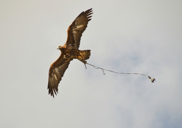 A Golden Eagle at the Eagle Hunting Festival about to swoop down to his master in a timed race. (Photo by Brad Ruoho/The Star Tribune)