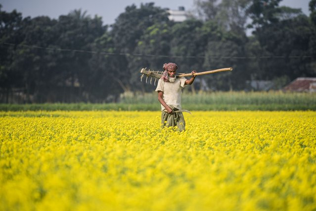 A farmer carries his plough through a mustard field in Manikganj, on the outskirts of Dhaka on December 18, 2020. (Photo by Munir Uz Zaman/AFP Photo)