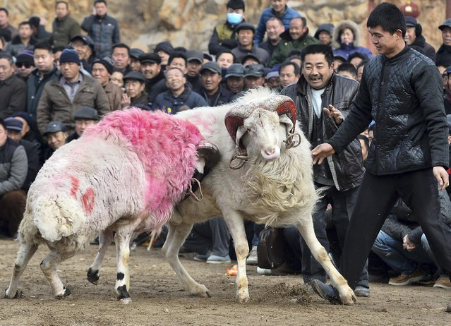 Villagers watch rams fight during a game on Laba Festival in Liangshan, Shandong province, January 27, 2015. More than 100 people took part in the game with their rams on Tuesday. The Laba Festival, which falls on the eighth day of the twelfth month of the Chinese Lunar calendar, commemorates the date of Sakyamuni Buddha's enlightenment. (Photo by Reuters/China Daily)