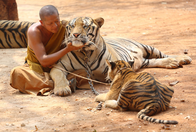 A Thai Buddhist monk plays with tigers at the Tiger Temple, in Saiyok district in Kanchanaburi province, west of Bangkok, Thursday, February 12, 2015. (Photo by Sakchai Lalit/AP Photo)