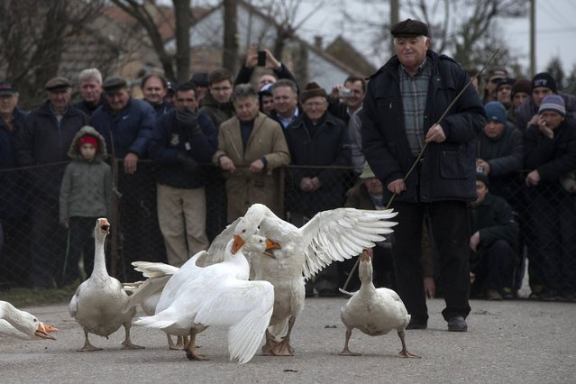 Geese fight during the annual Geese Fight Day in the northern Serbian village of Mokrin, some 160km (100 miles) from Belgrade February 22, 2015. (Photo by Marko Djurica/Reuters)