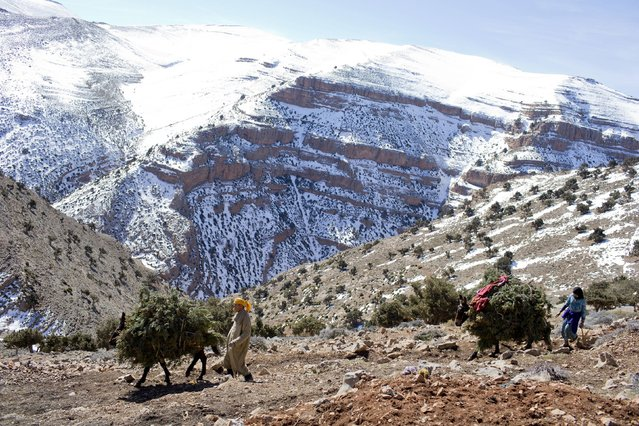 A Berber villager drives a donkey loaded with branches to be used as food for goats near Ait Sghir village in the High Atlas region of Morocco February 14, 2015. (Photo by Youssef Boudlal/Reuters)