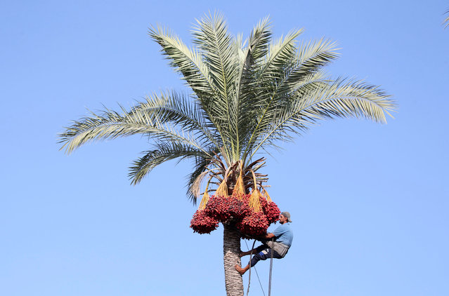 A Palestinian man harvests dates from a palm tree in Deir al-Balah, in the central Gaza Strip September 23, 2018. (Photo by Ibraheem Abu Mustafa/Reuters)