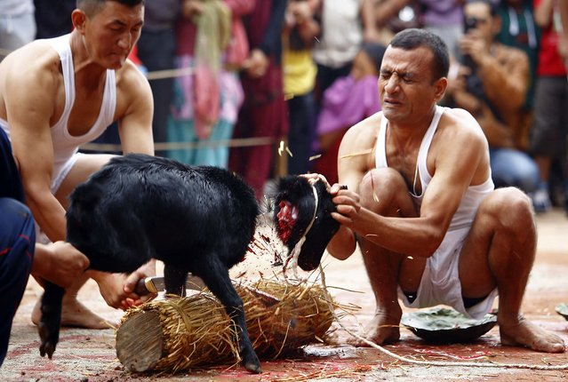 A man holds the head of a goat as it is slaughtered at a sacrificial ceremony during the Dashain festival in Kathmandu, on Oktober 13, 2013. Hindus in Nepal sacrifice animals during the festival as part of commemorative events held throughout the country, to worship Goddess Durga and celebrate the victory over evil. (Photo by Navesh Chitrakar/Reuters)