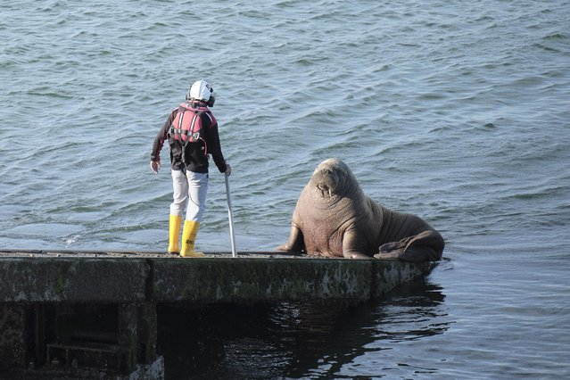 Wally the walrus received a hose-down by lifeboat volunteers attempting to shoo him off an emergency slipway on May 17, 2021 in Tenby, Wales. Lifeboat crews tried different ways to remove the 600kg Arctic walrus in the event of a rescue mission, but he refused to move, meaning that for 20 minutes the lifeboat could not be launched. (Photo by Paul Deverson/Wales News Service)
