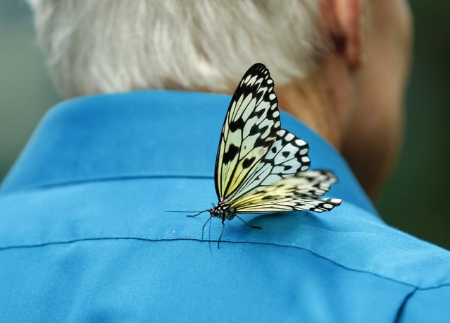A paper kite butterfly lands on a man's back as it and hundreds of other butterflies from around the world fill the bird aviary for the next month at the San Diego Zoo Safari Park in San Diego, California March 13, 2015. (Photo by Mike Blake/Reuters)