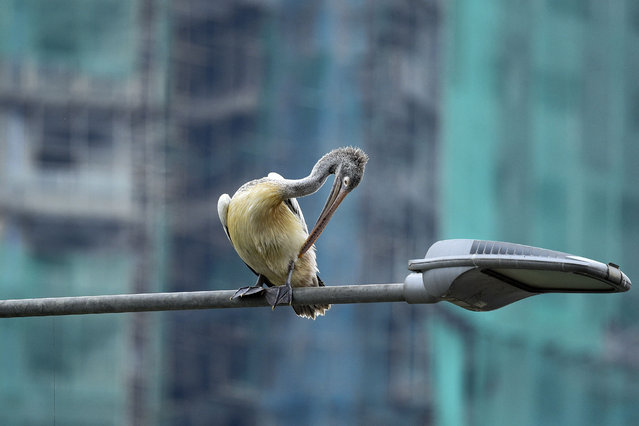 A spot-billed pelican sits on a street light in Colombo on March 16, 2021. (Photo by Ishara S. Kodikara/AFP Photo)