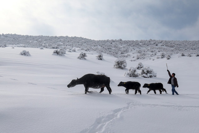 Water buffalos are seen on their way back home after getting washed at a thermal spring in Bitlis, Turkey on December 18, 2016. The 40 degrees centigrade Budakli springs are found in Budakli, 7 kilometres from Guroymak centre, and are sought after by local and foreign tourists for their healing properties, especially in summer. Despite the freezing cold, the villagers bring the horses they use for their carts and the water buffalo they raise to the snow-covered springs. (Photo by Özkan Bilgin/Anadolu Agency/Getty Images)