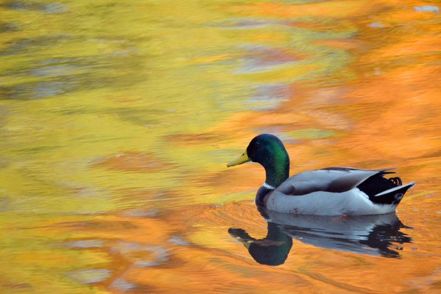A duck swims across a patch of bright colors from fall leaves reflected in the lake at Clove Lakes Park on November 04, 2013 in New York City. (Photo by Staten Island Advance/Landov/Barcroft Media)