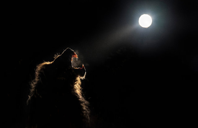 A lion roars in the moonlight. (Photo by Brendon Cremer/Caters News)