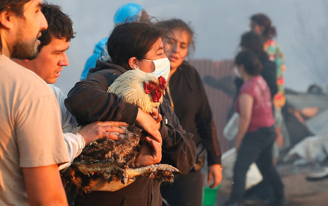 A woman holds a rooster burned during a fire on a hill, where more than 100 homes were burned due to a forest fire but there have been no reports of death, local authorities said in Valparaiso, Chile January 2, 2017. (Photo by Rodrigo Garrido/Reuters)