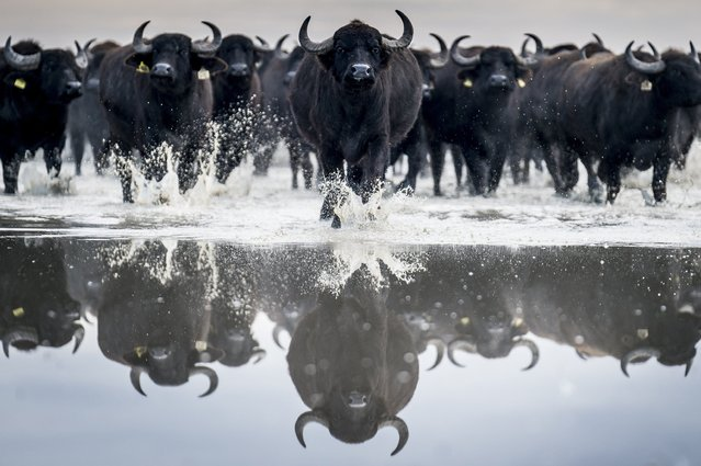 A herd of some 120 buffaloes are driven in Kiskunsag National Park from their winter habitat in Szabadszallas to the animal farm of Fulopszallas, 87 kms south of Budapest, Hungary, Thursday, January 4, 2018. (Photo by Sandor Ujvari/MTI via AP Photo)